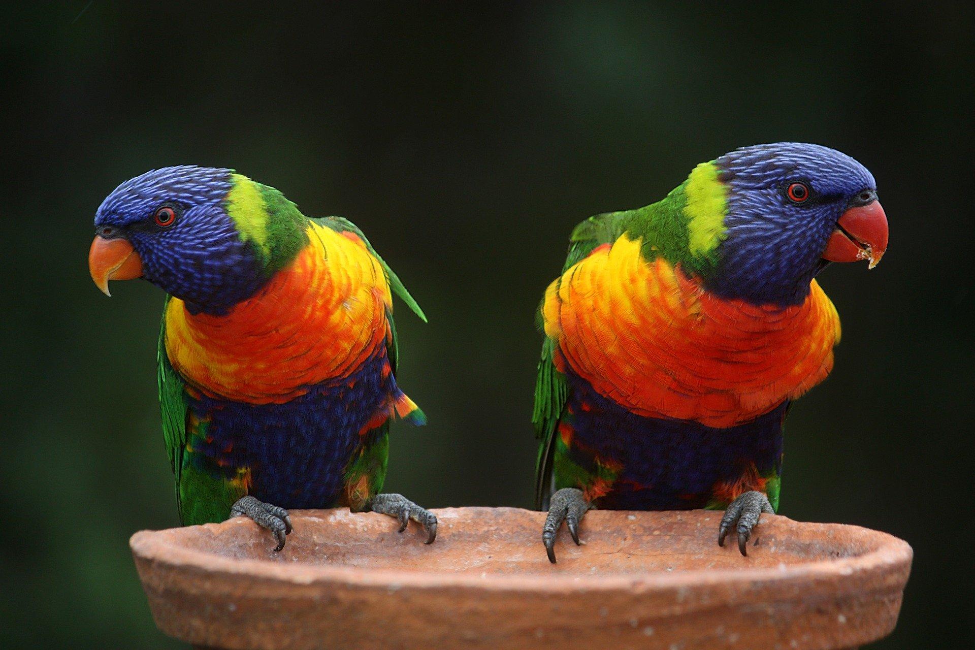 Regenbogen Papageien